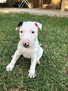 Purebred Minature Roman Nose Bull Terrier Pups