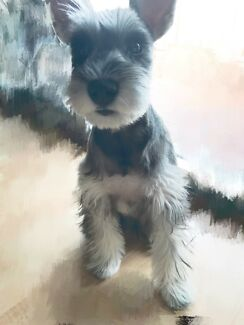 Pure Puppy Schnauzer Comes With Package