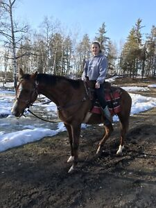 Papered Athletic Gelding