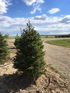 Spruce & Pine Trees For Sale!!