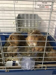 Two guinea pigs. (Male)