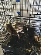 Pet Rats Nollamara Stirling Area Preview