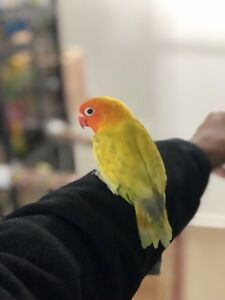 Beautiful Male Lutino Fischer Lovebird For Sale