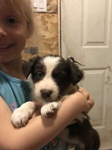 Red Border Collie Pups for Sale