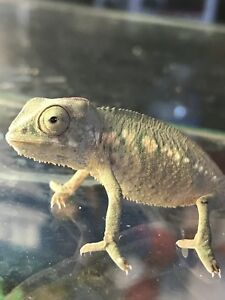ONLY 2 baby Panther Chameleons left