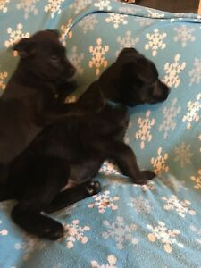 Black Lab puppies (2 Left!!!)