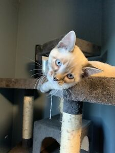 2 SNOW SAVANNAH KITTENS (F4) LOOKING FOR FOREVER HOMES!