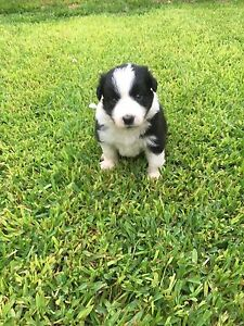 PURE BRED BORDER COLLIES Northampton Northampton Area Preview