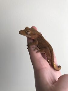 Red Male Crested Gecko