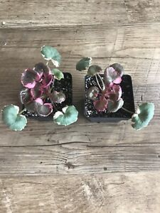 Variegated strawberry begonia plant $5