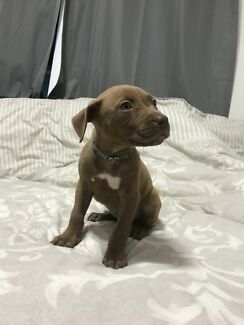 8 week old - Red Nose Female Pup