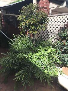 Magnificent Kangaroo Fern & Topiaries Lilli Tree
