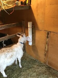 Two male goats free to a good home