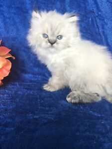 ADORABLE pure breed HIMALAYAN LYNX POINT
