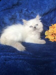 HIMALAYAN BLUE CREAM POINT FEMALE AVAILABLE