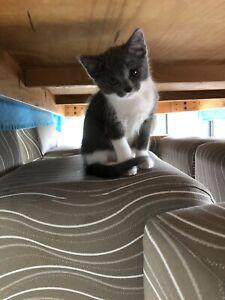 Bengel cat Female