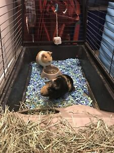 selling two female guinea  pigs with a cage