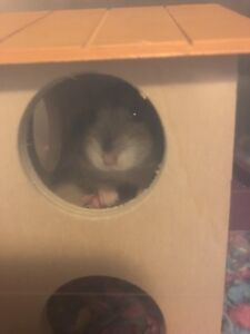 Russian hamster for rehoming