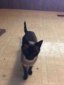 Dark Siamese cat