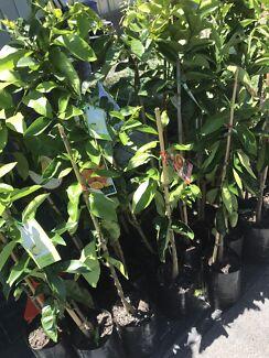 AVOCADO TREES Grafted Haas $60