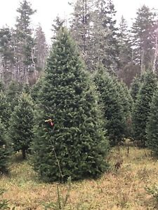 Christmas Trees for Sale Delivered.