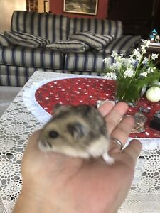 Seven months hamster looking for new home