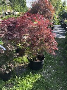 Japanese Maple trees for sale Kennedy Garden Centre in Caledon