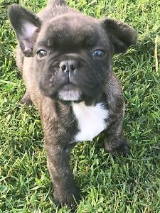 Male French Bulldog Pup 1 only Newcastle Newcastle Area Preview