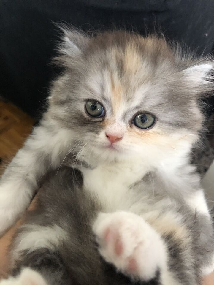 Purebred Persian Kittens for Sale