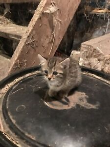 Adopt Cats & Kittens Locally in Guelph | Pets | Kijiji