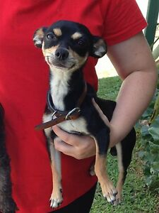 chihuahua male 30.09.15 Gympie Gympie Area Preview