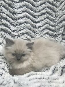 Adorable Himalayen blue point