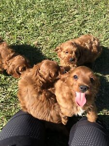 Cavoodle puppies- ruby red. Landsborough Caloundra Area Preview