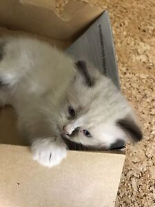 Ragdoll kittens for sale Tallebudgera Valley Gold Coast South Preview