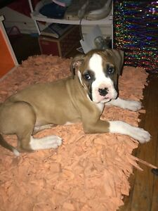 Selling Boxer puppy