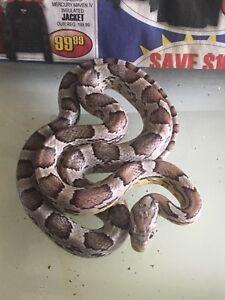 Ghost Corn Snake juvenile for 75