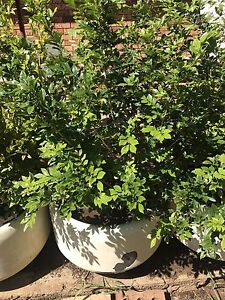 Pot Plant Hedged Dubbo Dubbo Area Preview