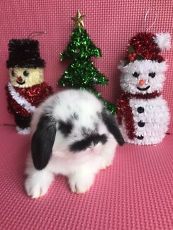 🎄🎄🎄Mini lop Baby Rabbits Hutch Packages in Time for Xmas 🎄🎄🎄