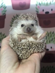 Male Baby Hedgehogs Available
