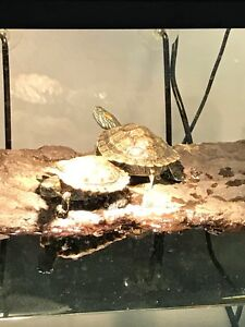Looking for a home for our two baby turtles