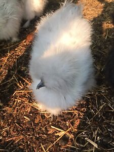 Silkies - 2 weeks old to 4 months olds