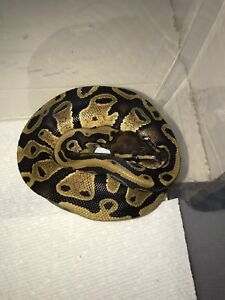 Female Het Pied Ball Python Kijiji In Ontario Buy Sell Save