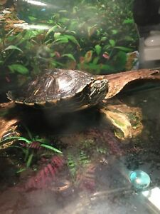 Lovely 2 year old turtle