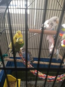 4 budgies with cage and toys