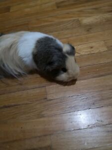 Female Guinea Pig and Cage