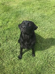 Black Labrador Retriever Female