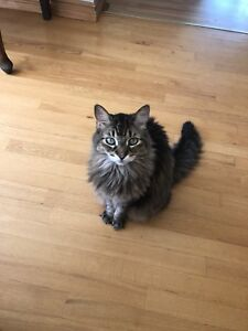 Lost Cat Near Dweyer Hill and Franktown
