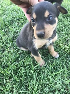 Dogs Puppies To Giveaway In Brisbane