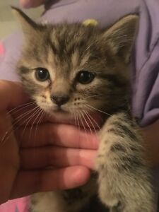 Cuties Kittens for Sale