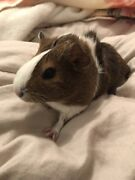 Female guinea pig for sale  Roleystone Armadale Area Preview